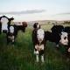 grass-fed beef in Australia