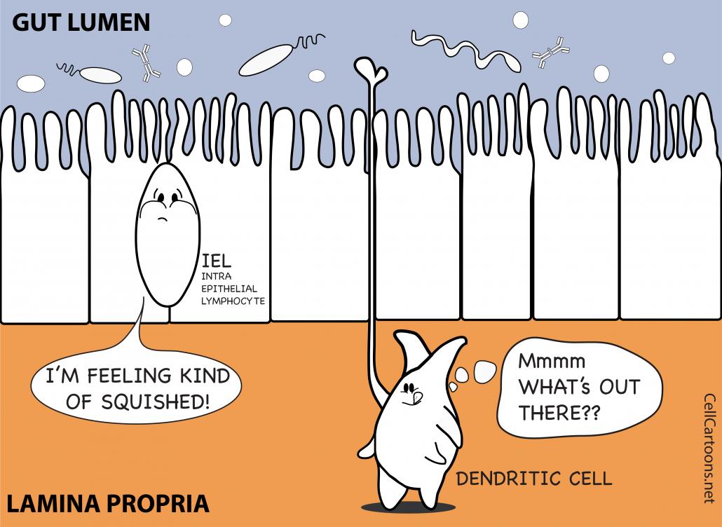 dendritic cells sample antigens from the gut lumen